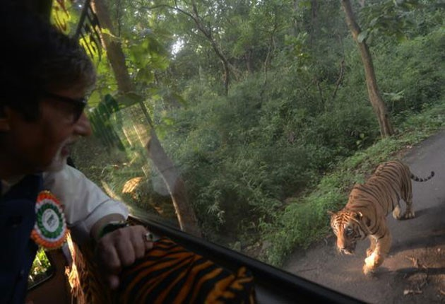 Tiger Chased Big B